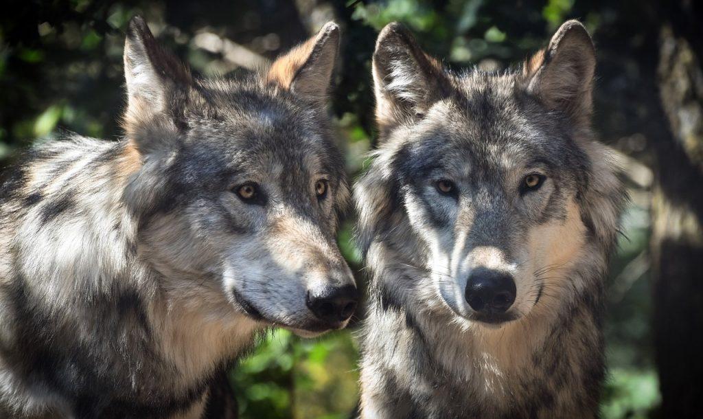Differenze principali tra cane e lupo